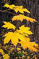 Autumn yellow leaves.jpg