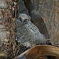 Baby Great Horned Owl (4541885168).jpg