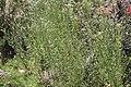 Baccharis pingraea (29552044153).jpg