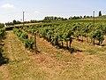 Badacsonyi szőlőhegy - panoramio.jpg