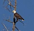 Bald Eagle 3 (8044964387).jpg