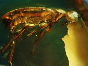 Beetle - Eocene beetle preserved in Baltic amber