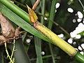 Bambus vulga 160426-0261 ckup.JPG
