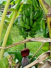 Banana three in Réunion.jpg