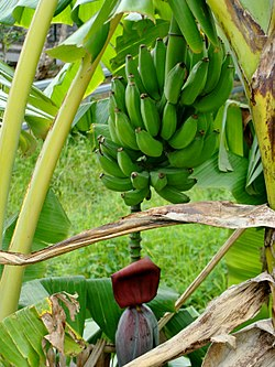 Banana three in Réunion.jpg