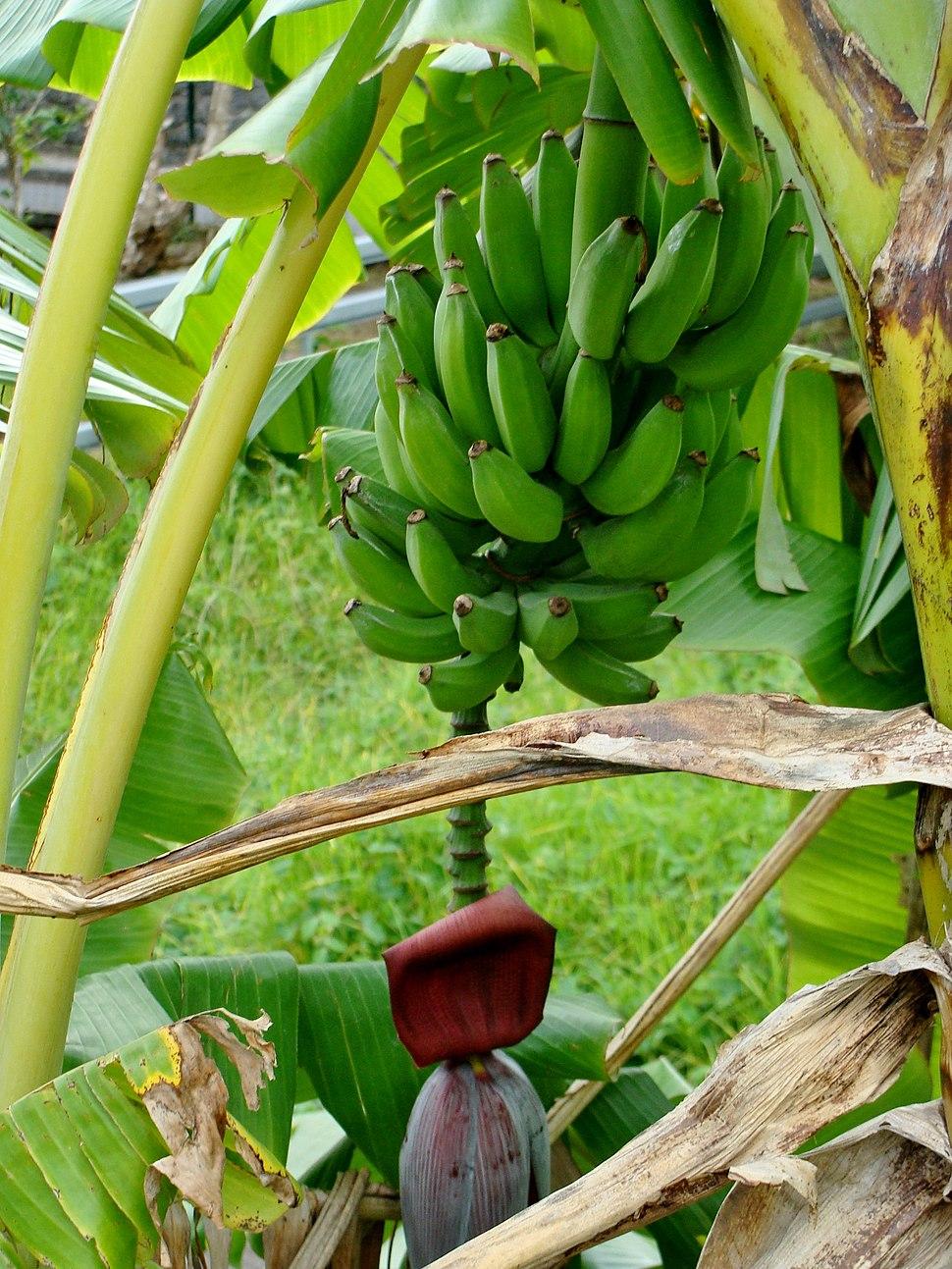 Banana three in Réunion