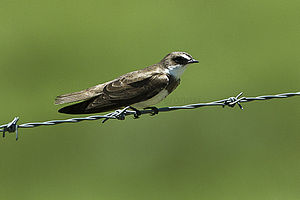 Banded martin - Image: Banded Martin Natal South Africa S4E6413 (16792206620)