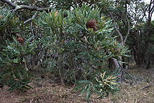 Banksia menziesii with persistent florets.jpg