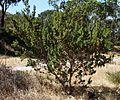 Banksia sessilis var. cygnorum habit.jpg