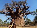 Baobab Andombiry Morombe Madagascar - panoramio (1).jpg