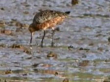Fail:Bar-tailed Godwit95.ogv