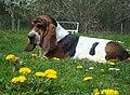 Basset hound 2ans.jpeg