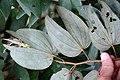 Bauhinia multinervia (Fabaceae) (33908973221).jpg