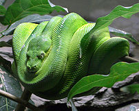 Although not venomous, this Green tree python ...
