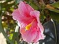 Beautiful hibiscus.jpg