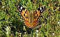 Beauty of Painted LADY.jpg