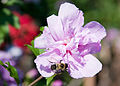 Bee on a flower (4877658934).jpg