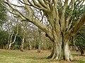 Beech pollard in Ashurst Wood, New Forest - geograph.org.uk - 148240.jpg