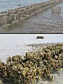 Before & After- Oyster reef living shoreline partner project (16494656212).jpeg