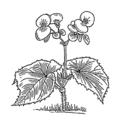 Begonia (PSF).png