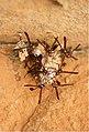 Belonogaster dubia (Vespidae) (6227490469).jpg