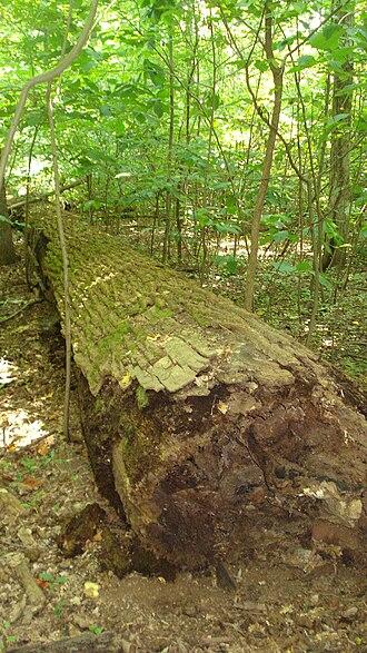 Belt Woods - Deadfall in Belt Woods