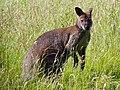 Bennett's wallaby (Macropus rufogriseus fructica) (9275667894).jpg