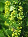 Berberis vulgaris 5922.jpg