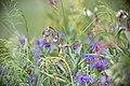 Bergklint ^ Krollilja-3941 - Flickr - Ragnhild & Neil Crawford.jpg