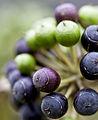 Berry pretty (7526848144).jpg