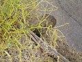 Beta vulgaris maritima L. (AM AK309215-3).jpg