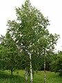 file betula pendula tree wikimedia commons. Black Bedroom Furniture Sets. Home Design Ideas