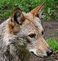 Białowieski Park Narodowy wilk 02.JPG
