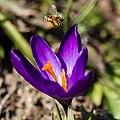 Biene fliegt Krokus an 4600.jpg
