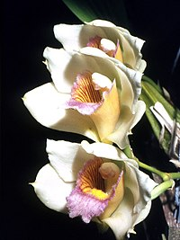 Bifrenaria tyrianthina Orchi 01.jpg