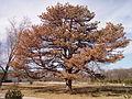 Big Austrian pine with pine wilt.jpg
