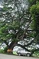 Big Old trees. - panoramio (1).jpg