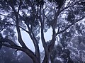 Big tree from my backyard.jpg