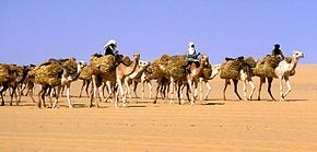 Salt caravan of heavy laden camels in desert