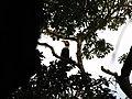Bird Great Hornbill Buceros bicornis IMG 8659 04.jpg