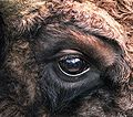 Bison bonasus right eye close-up.jpg