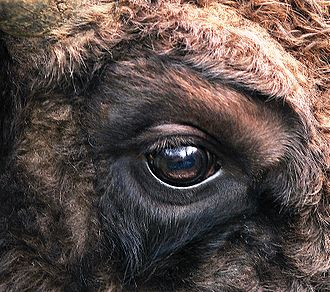 Eye - Eye of European bison