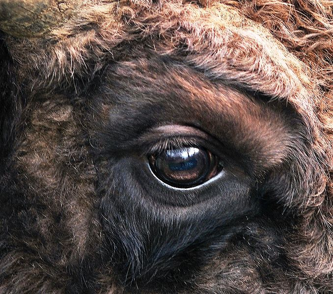 File:Bison bonasus right eye close-up.jpg