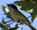 Black-capped-Vireo.jpg