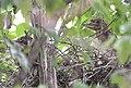Black-crowned Night-Heron chicks from 7 11 19 (48282587076).jpg