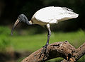 Black-headed Ibis (Threskiornis melanocephalus) W IMG 1431.jpg