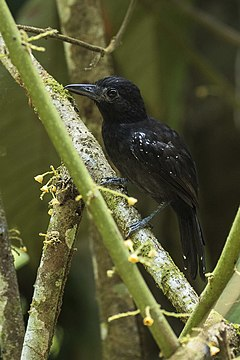 Black-hooded Antshrike - Rio Tigre - Costa Rica MG 8351 (26630318011).jpg