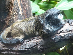 Description de l'image  Black-mantled-Tamarin-ZOO-Jihlava.jpg.