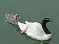Black-necked Swan SMTC.jpg