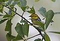 Black-throated Green Warbler (29280915373).jpg